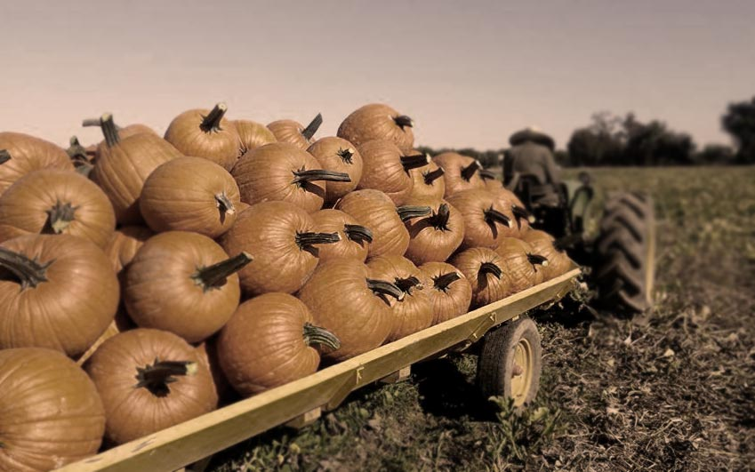 Bishops Pumpkin Farm video thumbnail of farmer with tractor pulling hundreds of pumpkins